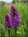 SX9066 : Orchids on the tip by Derek Harper