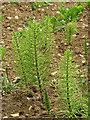TG0628 : Common horsetail (Equisetum arvense ) by Evelyn Simak