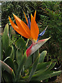 TG0928 : Bird of Paradise Flower (Strelitzia reginae) by Evelyn Simak