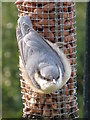 SO7350 : Juvenile nuthatch feeding by Peter Whatley