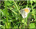 NS8237 : Small Heath butterfly by M J Richardson