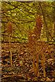 TQ1853 : Bird's-nest Orchids (Neottia nidus-avis) by Ian Capper