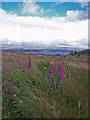 NG2643 : Foxgloves on roadside verge by Richard Dorrell