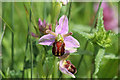 SK6953 : Bee Orchid by Alan Murray-Rust