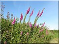 SM9109 : Foxgloves in hedgerow by Colin Bell
