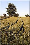 TL8063 : Wheat field in Little Saxham by Bob Jones
