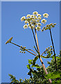SD9200 : Giant Hogweed by michael ely