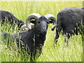 NH2954 : Welsh Mountain sheep near Strathanmore by sylvia duckworth