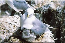 NU2135 : Kittiwake with chick by Gordon Hatton