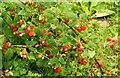 J1146 : Wild raspberries, Banbridge by Albert Bridge