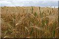 NZ1882 : Barley field by Helen Wilkinson
