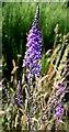 NJ2156 : Purple Toadflax (Linaria purpurea) by Anne Burgess