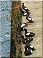 J5082 : Black Guillemots, Bangor [8] by Rossographer