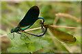 SY5097 : Beautiful Demoiselles mating by Ian Capper
