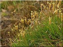 SX5746 : Plantain, Wadham Beach by Derek Harper