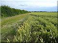 TL2279 : Wheat crop south of Wennington Lodge Farm by Jonathan Billinger