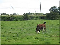 NT1067 : Hereford bull, Ormiston Mains by Richard Webb