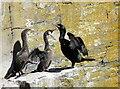 ND3240 : Shag family at Whaligoe by sylvia duckworth