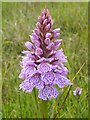 NS3778 : Heath Spotted-orchid (Dactylorhiza maculata) by Lairich Rig