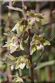 TQ1751 : Violet Helleborine (Epipactis purpurata) by Ian Capper