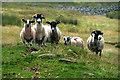 NY6634 : Sheep by Peter McDermott