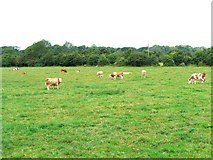 N8631 : Field of cattle by James Allan