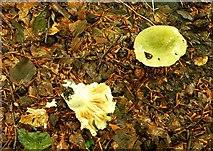 J4681 : Fungus, Crawfordsburn Glen (3) by Albert Bridge