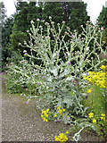 SO5635 : Cotton thistle and ragwort by Pauline E