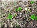 NS9202 : Cloudberry,  Rubus chamaemorus by Richard Webb