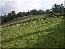 SX8460 : Sheep by Glazegate Lane by Derek Harper