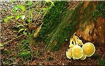 J4681 : Fungus, Crawfordsburn Glen (10) by Albert Bridge