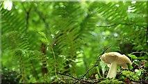 J4681 : Fungus, Crawfordsburn Glen (12) by Albert Bridge
