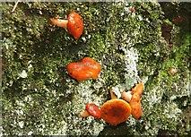 J4681 : Fungus, Crawfordsburn Glen (13) by Albert Bridge