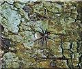 SD4583 : Raft Spider - Bellart How Moss by Gary Rogers