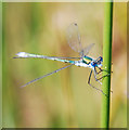 SD4583 : Emerald Damselfly on Reed Grass by Gary Rogers