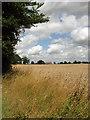 TG3210 : Ripe wheat by Evelyn Simak