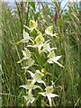 NS3883 : Greater Butterfly-orchid (Platanthera chlorantha) by Lairich Rig