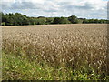 SO9347 : Wheatfield at Drakes Broughton by Philip Halling