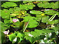 SJ4885 : Waterlilies, Clincton Wood Local Nature Reserve by Sue Adair