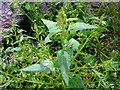 SN0639 : Spear-leaved orache (Atriplex prostrata / hastata) by ceridwen