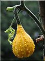 TG1124 : Squash  (Cucurbita spec.) by Evelyn Simak