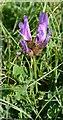 NT4999 : Purple Milk-vetch (Astragalus danicus) by Anne Burgess