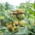 NS3878 : Acorn knopper galls on oak by Lairich Rig