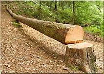 J4772 : Felled tree, Killynether Wood by Albert Bridge