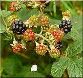 J4772 : Blackberries, Killynether Wood by Albert Bridge