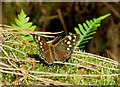 TF8745 : Speckled Wood butterfly - in the woods by Zorba the Geek