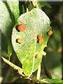 NS3778 : Galls on grey willow (caused by gall mite) by Lairich Rig