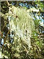 NS3581 : A lichen - Usnea species by Lairich Rig