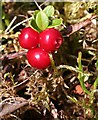 NJ4938 : Cowberry (Vaccinium vitis-idaea) by Anne Burgess