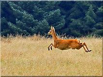 NN8812 : Running deer by Dr Richard Murray